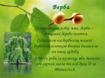 Верба За народними повір´ями, верба – священне дерево життя. Освяченою на вер...
