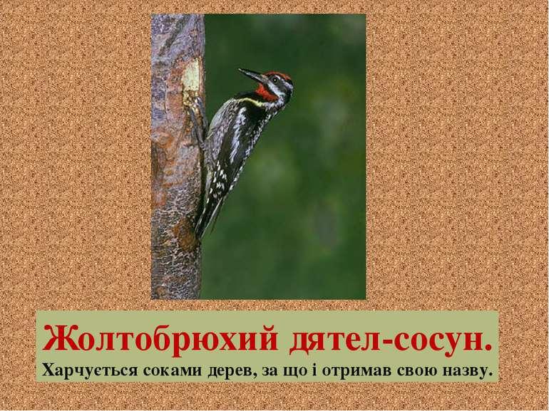 Жолтобрюхий дятел-сосун. Харчується соками дерев, за що і отримав свою назву.