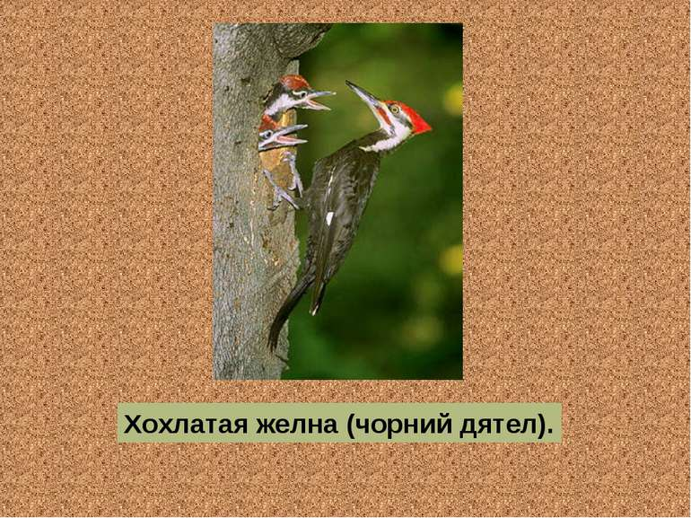 Хохлатая желна (чорний дятел).