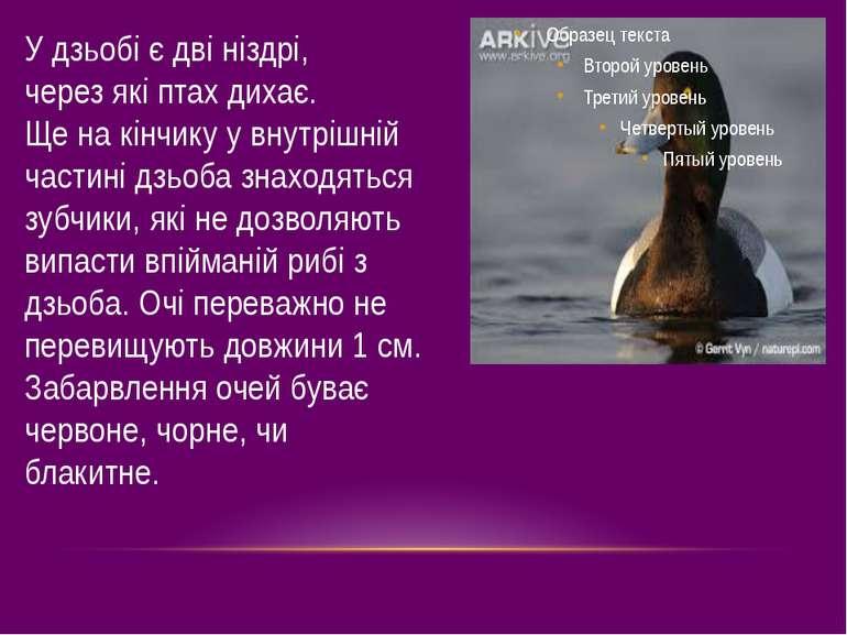 У дзьобі є дві ніздрі, через які птах дихає. Ще на кінчику у внутрішній части...