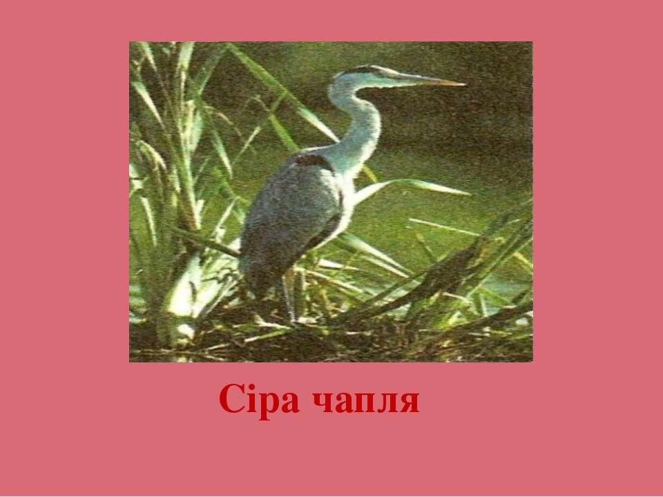Сіра чапля