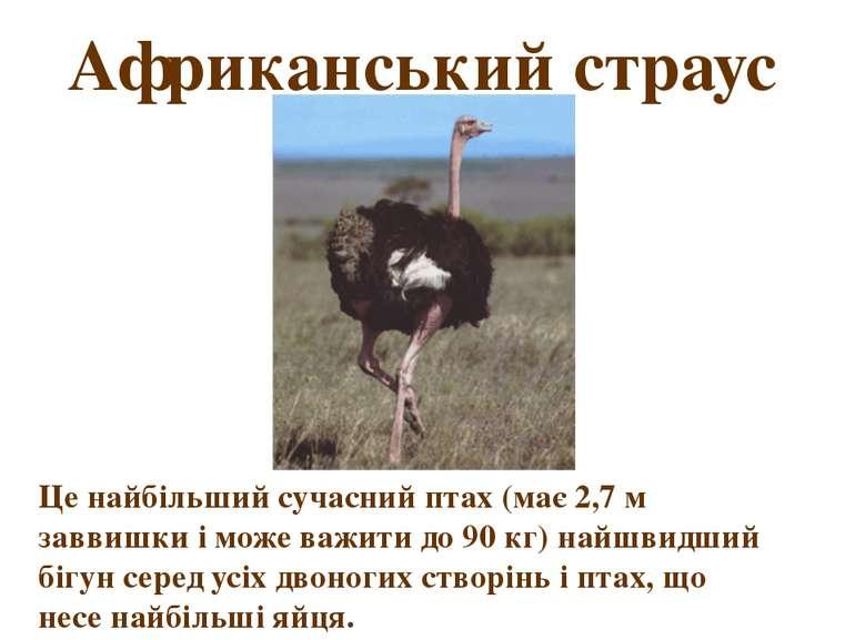 Африканський страус Це найбільший сучасний птах (має 2,7 м заввишки і може ва...