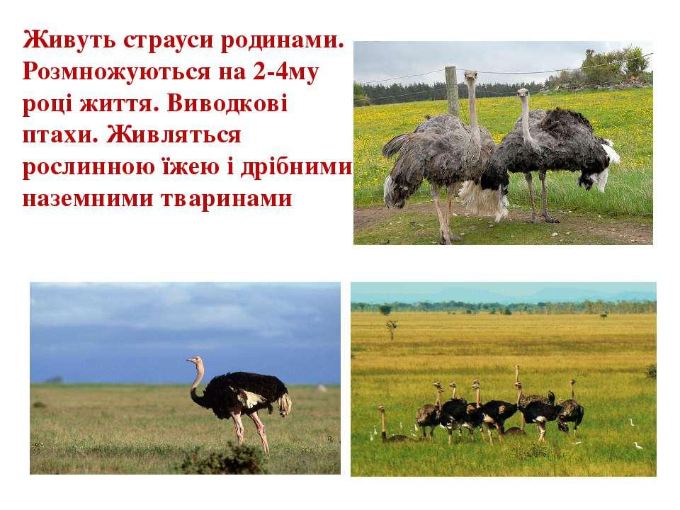 Живуть страуси родинами. Розмножуються на 2-4му році життя. Виводкові птахи. ...