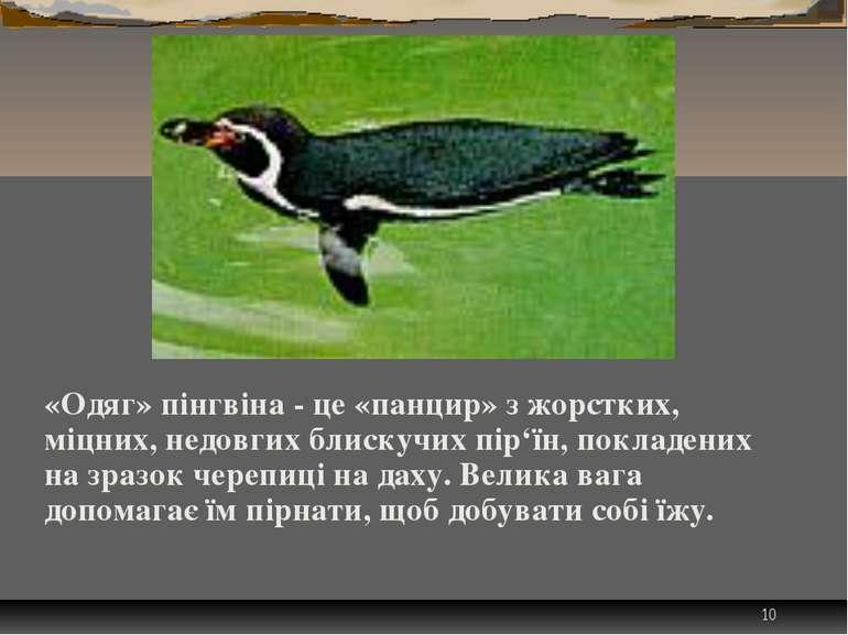 * «Одяг» пінгвіна - це «панцир» з жорстких, міцних, недовгих блискучих пір'їн...