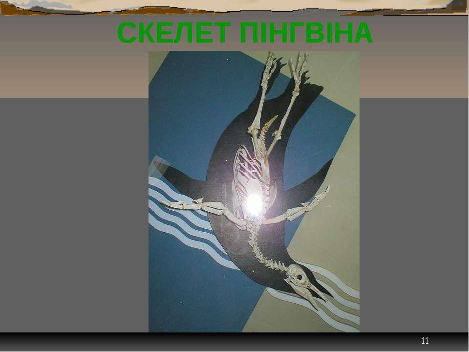 * СКЕЛЕТ ПІНГВІНА