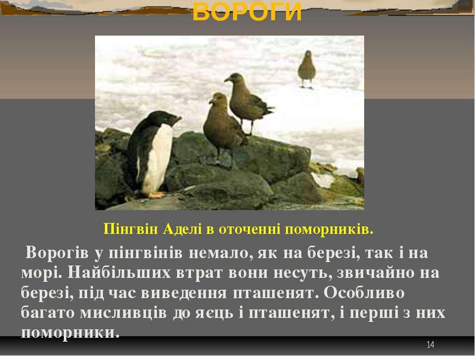 * ВОРОГИ Пінгвін Аделі в оточенні поморників. Ворогів у пінгвінів немало, як ...