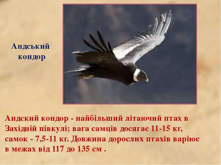Андський кондор Андский кондор - найбільший літаючий птах в Західній півкулі;...