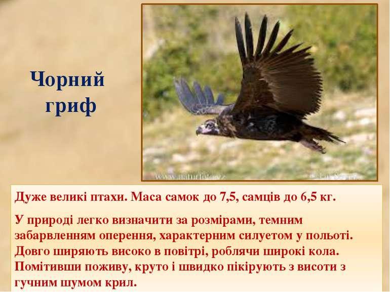 Чорний гриф Дуже великі птахи. Маса самок до 7,5, самців до 6,5кг. У природі...