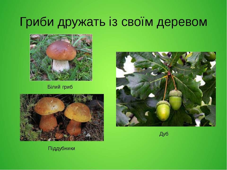 Гриби дружать із своїм деревом Білий гриб Піддубники Дуб