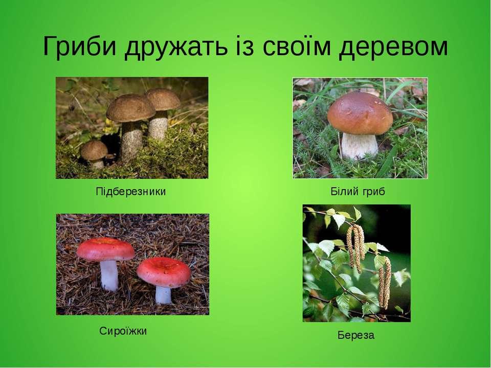 Гриби дружать із своїм деревом Підберезники Сироїжки Білий гриб Береза