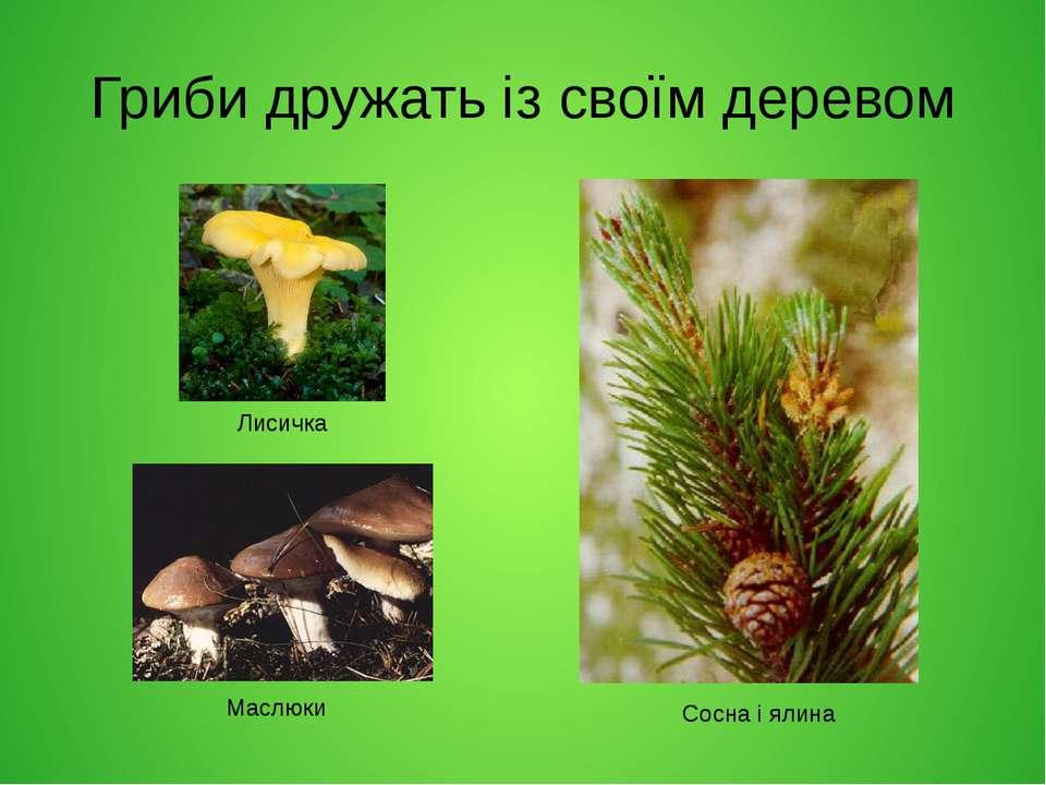 Гриби дружать із своїм деревом Лисичка Маслюки Сосна і ялина
