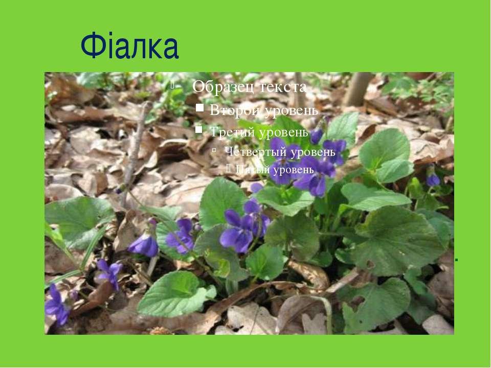 Фіалка  Квітка я ніжна, низенька, дрібна. Коли розцвітаю, приходить весна....