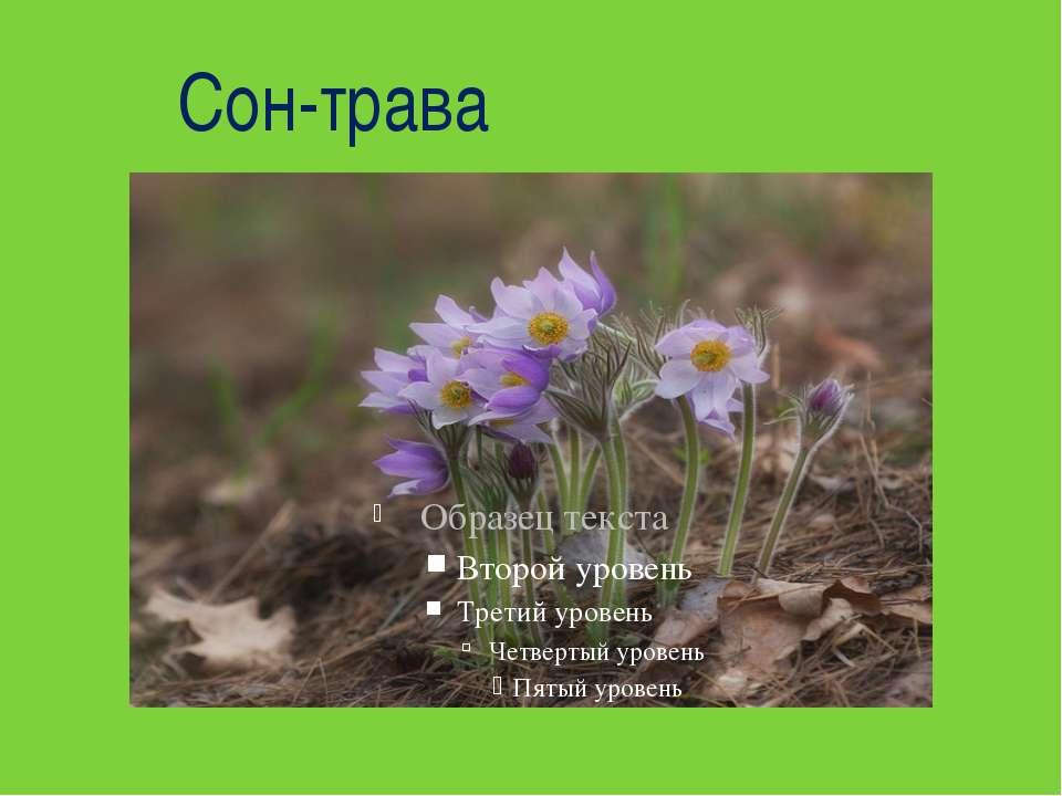 Сон-трава На стеблинці волохатій Шість пелюсток лілуватих. Гарна квітка – нав...