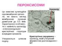 ПЕРОКСИСОМИ Це невеликі кулеподібні одномембранні органе- ли, які мають вигля...