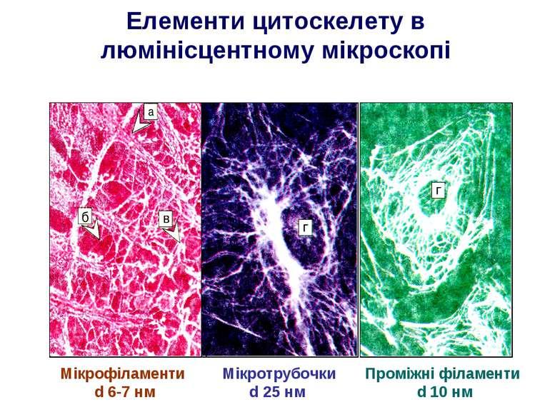Елементи цитоскелету в люмінісцентному мікроскопі