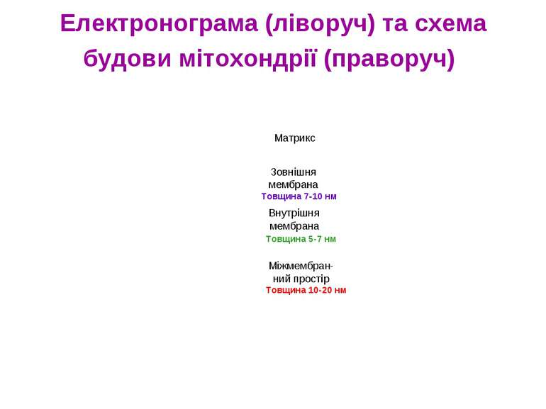 Електронограма (ліворуч) та схема будови мітохондрії (праворуч) Товщина 10-20...