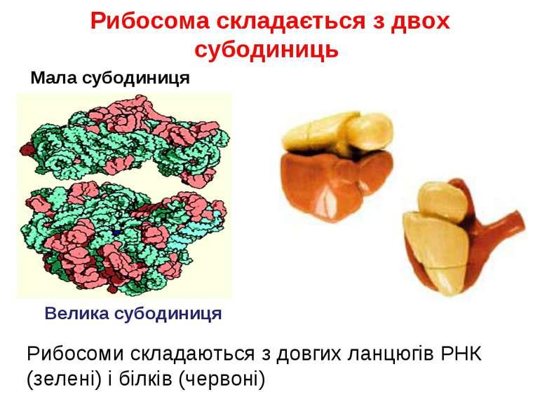 Рибосома складається з двох субодиниць Рибосоми складаються з довгих ланцюгів...