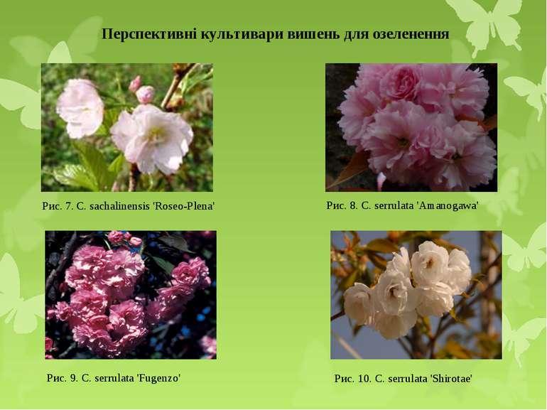 Перспективні культивари вишень для озеленення Рис. 7. C. sachalinensis 'Roseo...