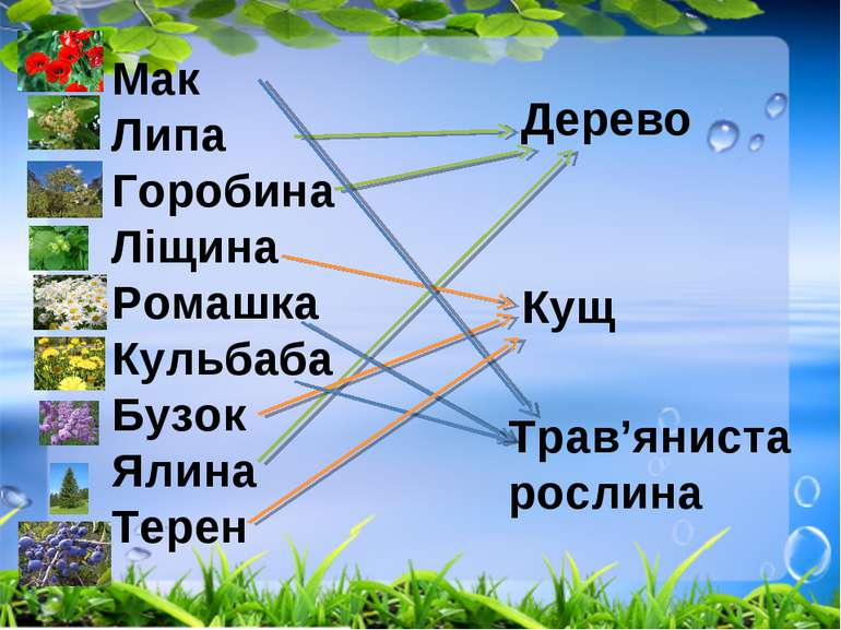 Дерево Кущ Трав'яниста рослина Мак Липа Горобина Ліщина Ромашка Кульбаба Бузо...