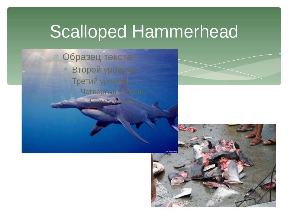 Scalloped Hammerhead