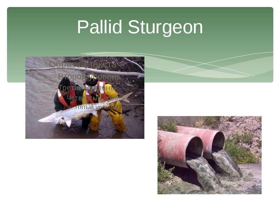 Pallid Sturgeon