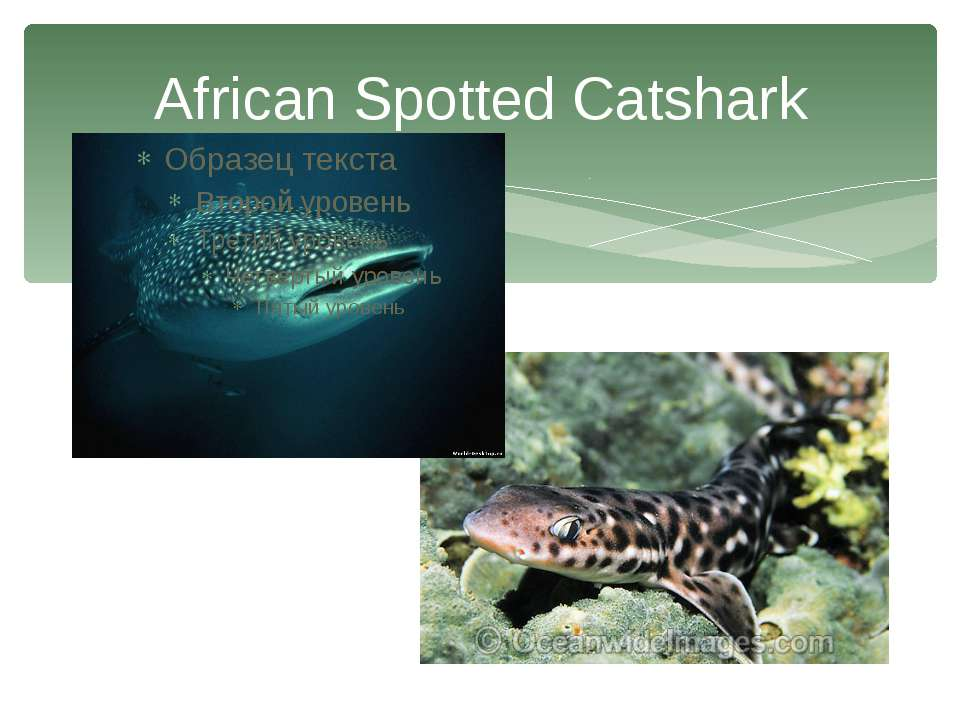 African Spotted Catshark