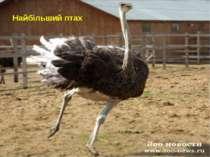 Найбільший птах
