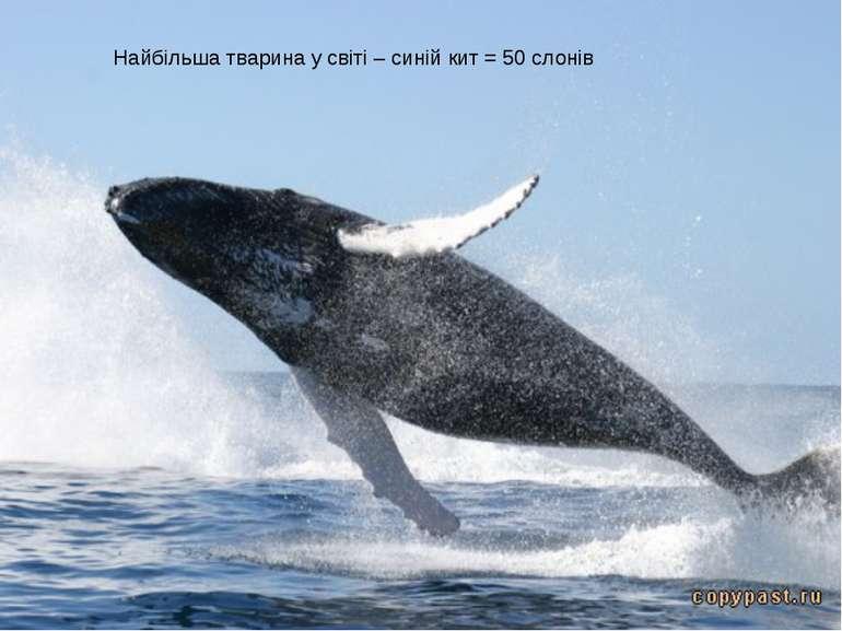 Найбільша тварина у світі – синій кит = 50 слонів