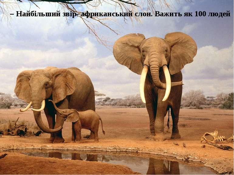 – Найбільший звір- африканський слон. Важить як 100 людей