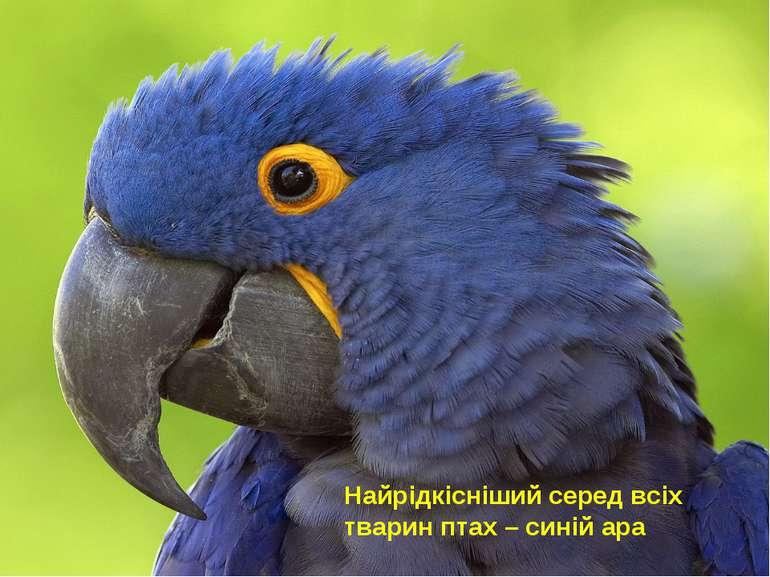 Найрідкісніший серед всіх тварин птах – синій ара