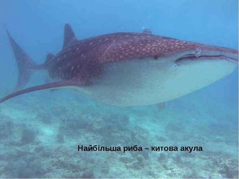Найбільша риба – китова акула