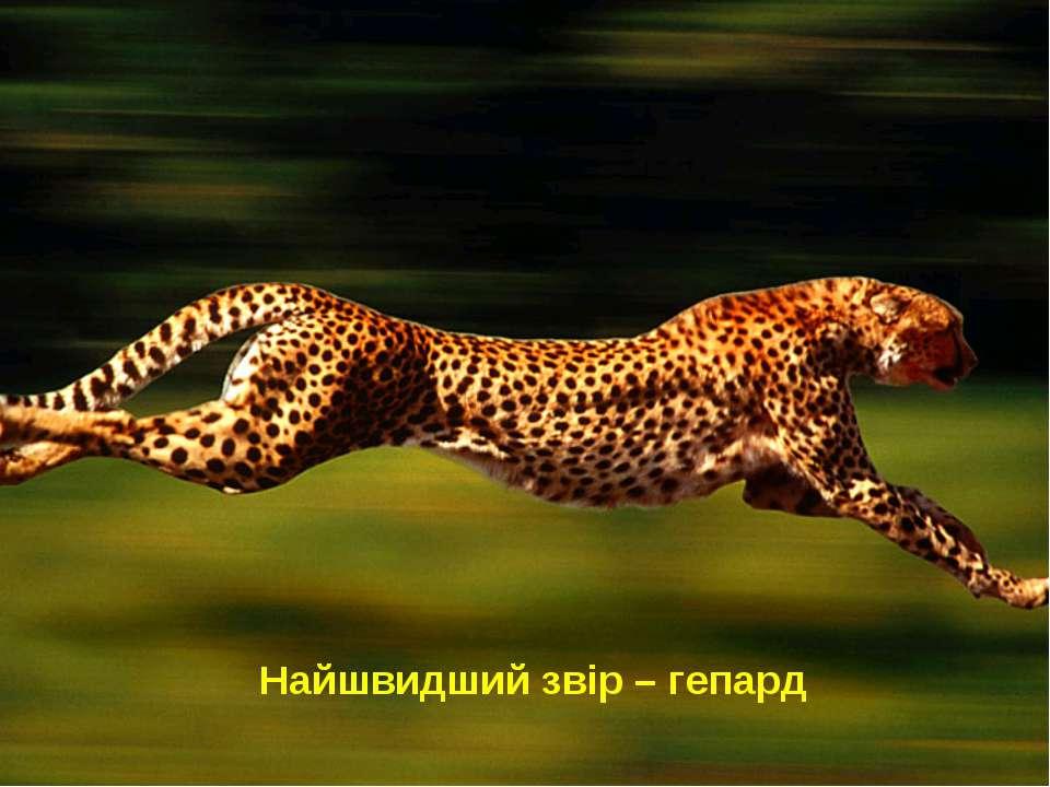 Найшвидший звір – гепард