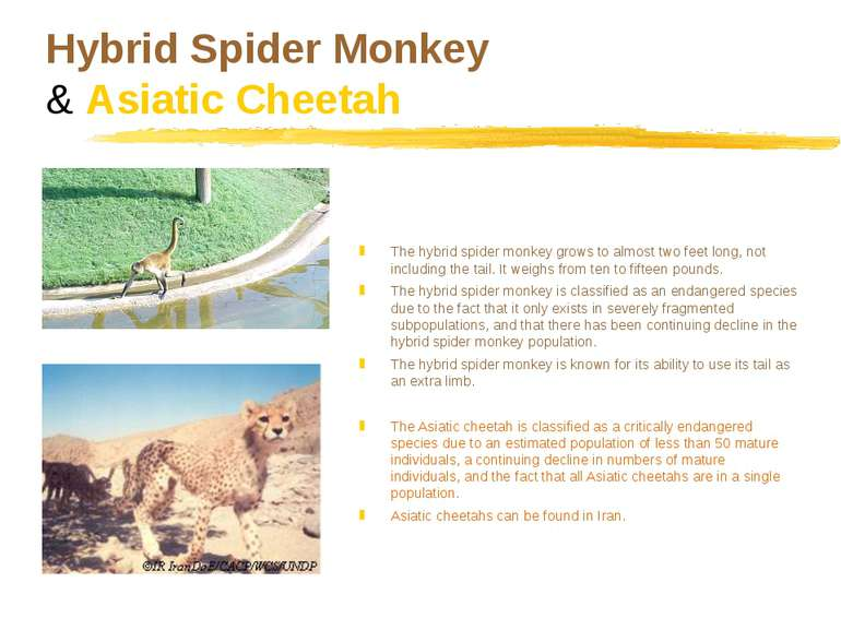 Hybrid Spider Monkey & Asiatic Cheetah The hybrid spider monkey grows to almo...