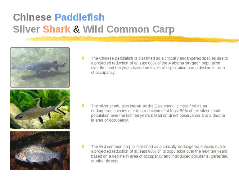 Chinese Paddlefish Silver Shark & Wild Common Carp The Chinese paddlefish is ...
