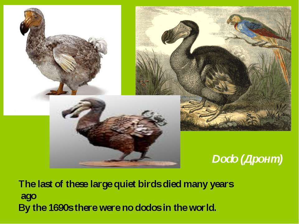 Dodo (Дронт) The last of these large quiet birds died many years ago By the 1...