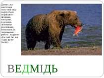 ВЕДМІДЬ Дивно, що настільки могутній звір харчується переважно ягодами, плода...