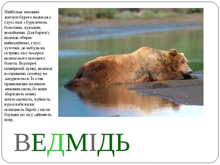 ВЕДМІДЬ Найбільш типовим житлом бурого ведмедя є глухі ліси з буреломом, боло...