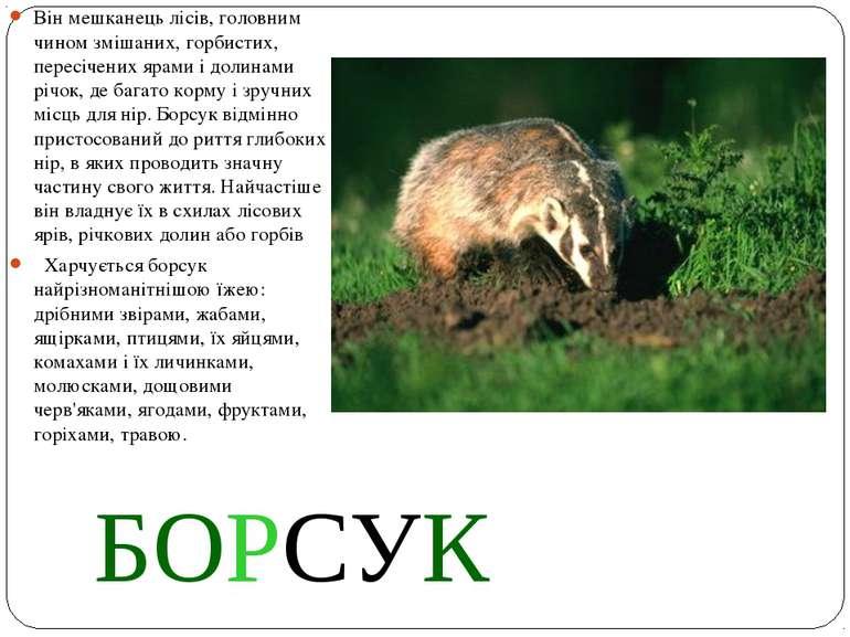 БОРСУК Він мешканець лісів, головним чином змішаних, горбистих, пересічених я...