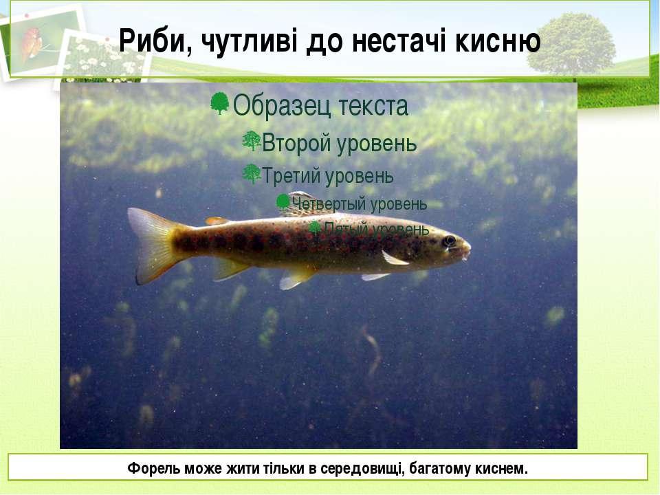 Риби, чутливі до нестачі кисню Форель може жити тільки в середовищі, багатому...