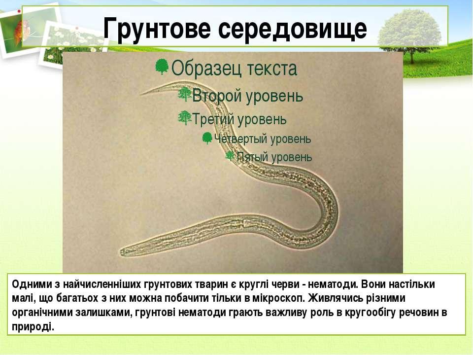 Грунтове середовище Одними з найчисленніших грунтових тварин є круглі черви -...