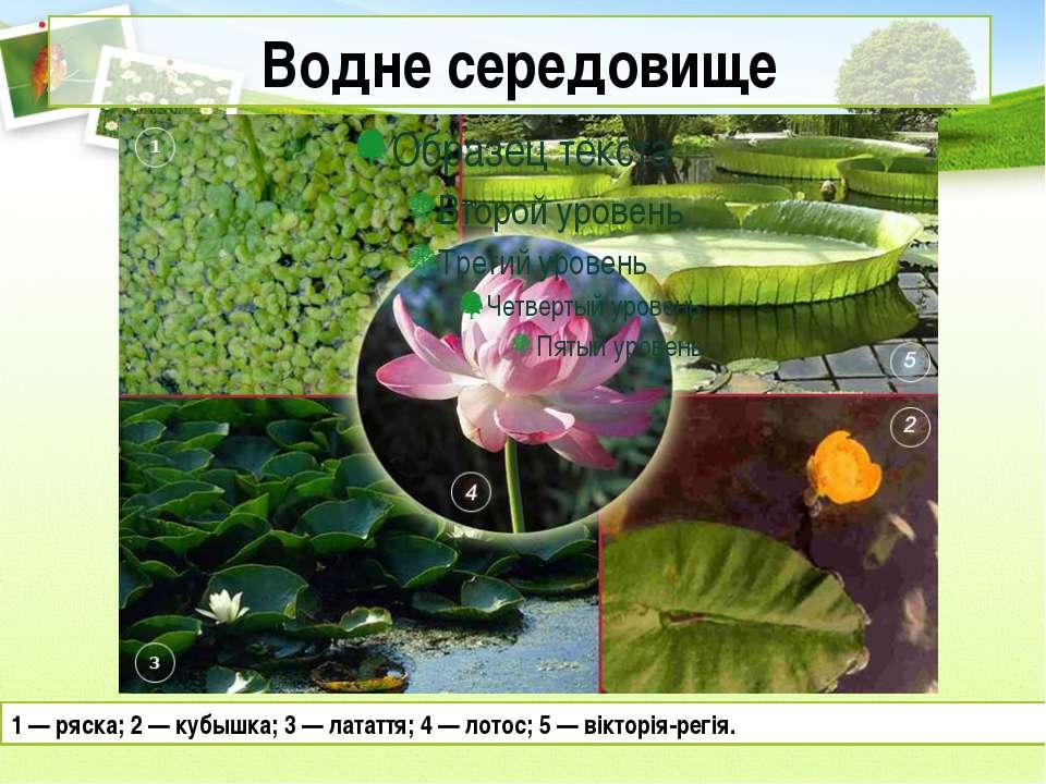 Водне середовище 1 — ряска; 2 — кубышка; 3 — латаття; 4 — лотос; 5 — вікторія...