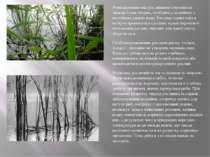 Розмежування між рослинними смугами не завжди буває чітким, особливо у водойм...