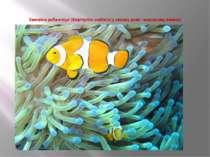 Звичайна риба-клоун (Amphiprion ocellaris) у своєму домі - морському анемоні