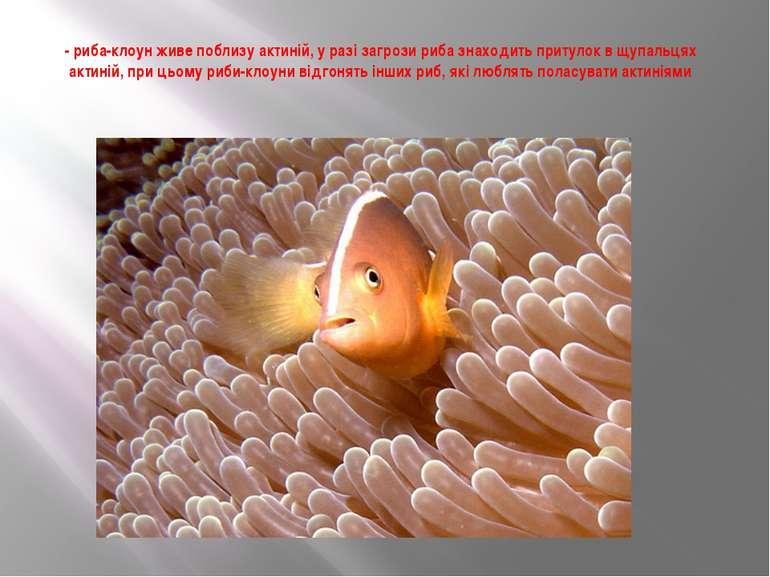 - риба-клоун живе поблизу актиній, у разі загрози риба знаходить притулок в щ...