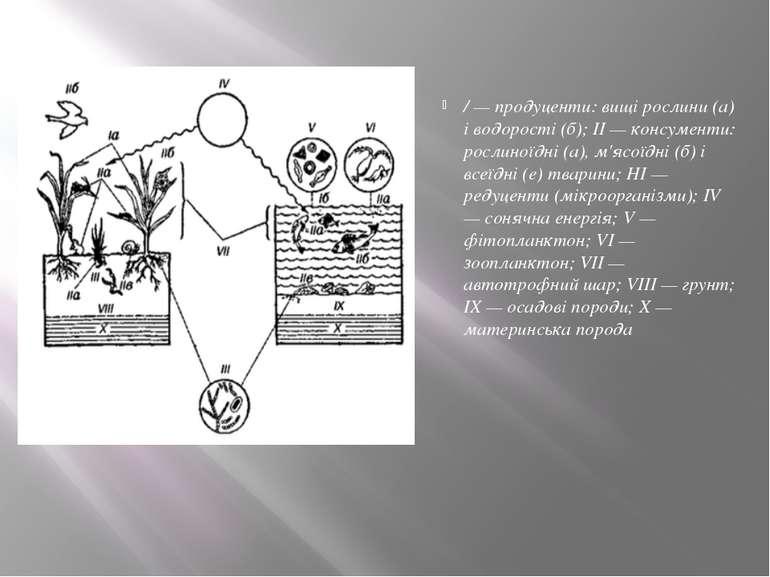 / — продуценти: вищі рослини (а) і водорості (б); II — консументи: рослиноїдн...