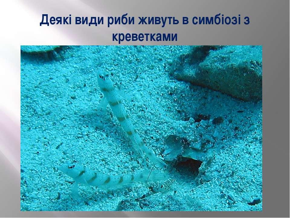 Деякі види риби живуть в симбіозі з креветками
