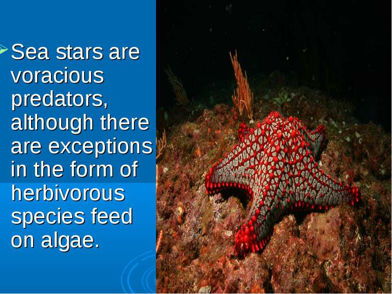 Sea stars are voracious predators, although there are exceptions in the form ...
