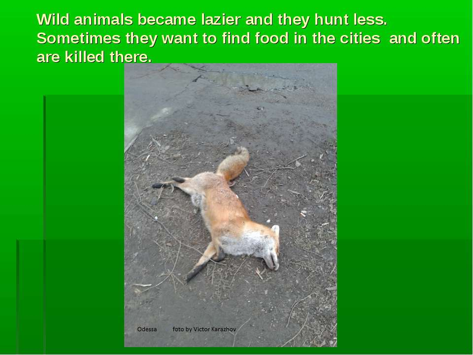 Wild animals became lazier and they hunt less. Sometimes they want to find fo...