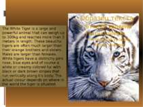 The White Tiger is a large and powerful animal that can weigh up to 300kg and...