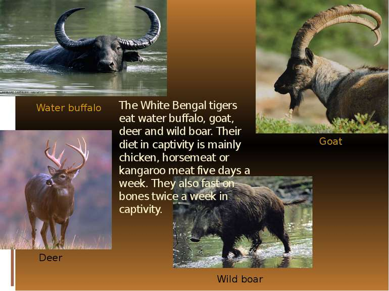 The White Bengal tigers eat water buffalo, goat, deer and wild boar. Their di...